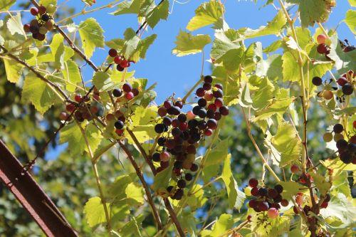 vine grape france