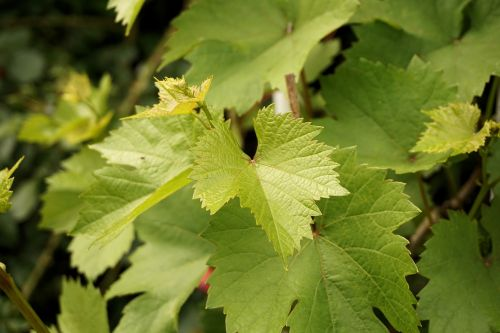 vine leaves leaves nature