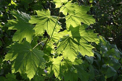 vine leaves  plant  leaf