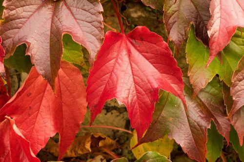 vine leaves wine partner autumn