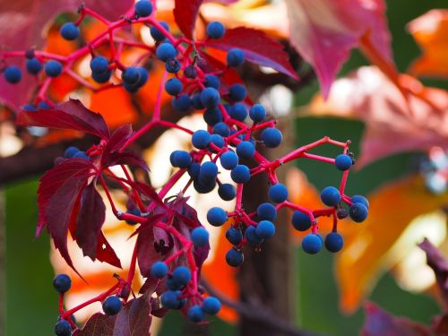 vine-virgin liana parthenocissus