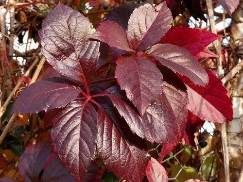 vine-virgin  leaves  parthénocisus quinquefolia