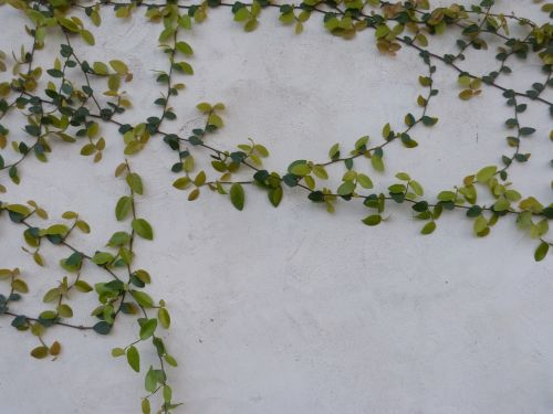 vines vines on wall nature background