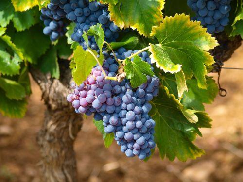 vines vineyards fall