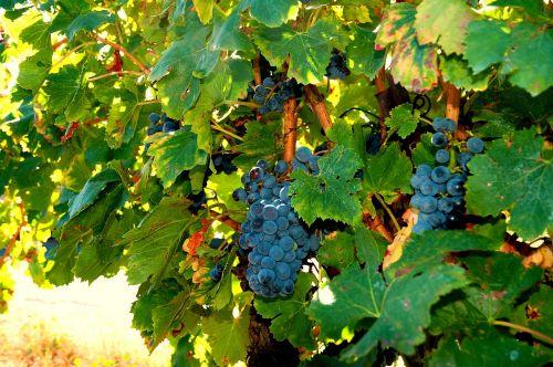 vines grapes cluster
