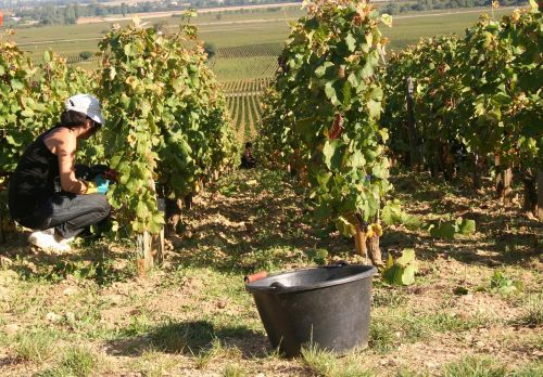 vynuogynai,Burgundija,vynuogynas,derlius
