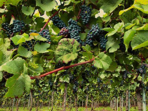 vines pinot noir grapevine