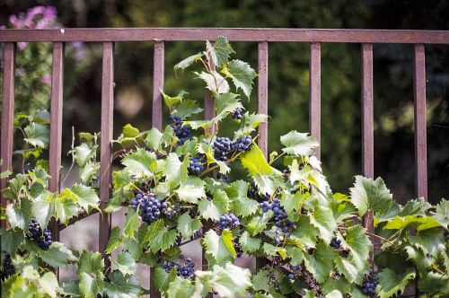 vines virginia creeper ivy