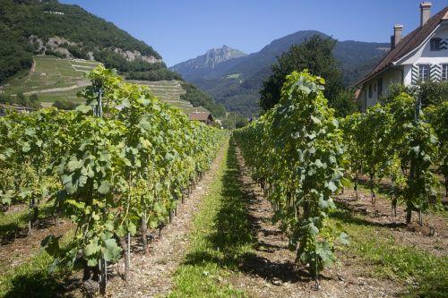 vines grape grape vine
