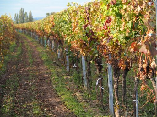 vines vine winegrowing