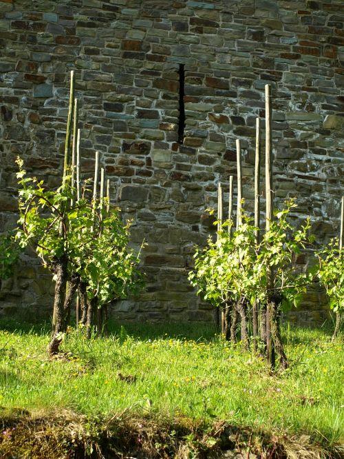 vines wine vines stock