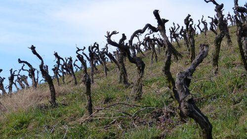 vines vineyard gnarled