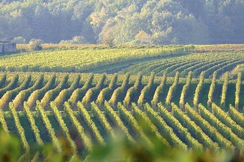 vines  green  grapevine