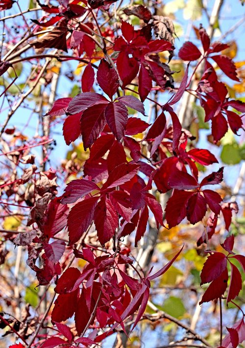vines  bindweed  foliage