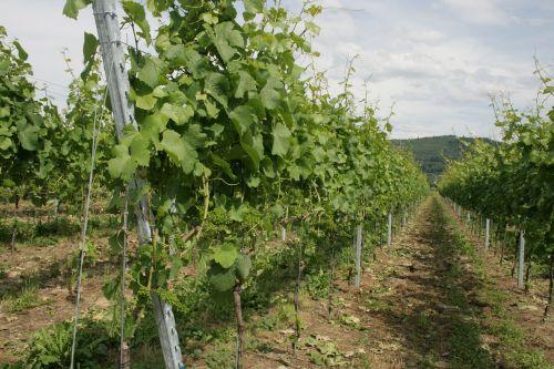 vines green winegrowing