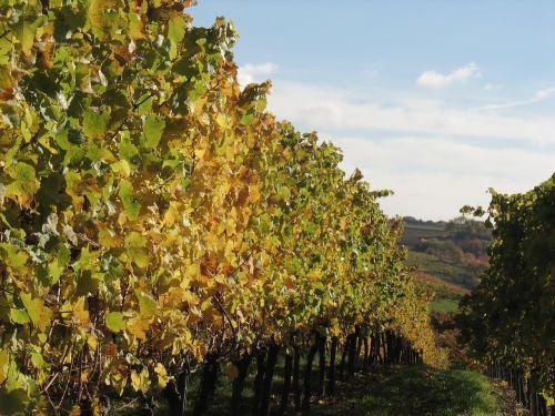 vines winemaker vineyard