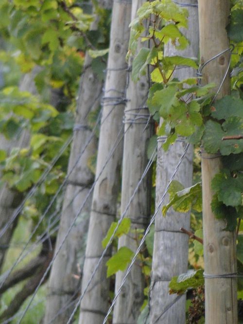 vines wingert vineyard