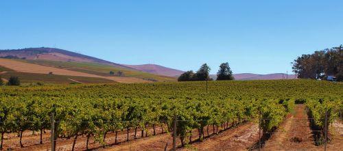 vines winegrowing vineyard