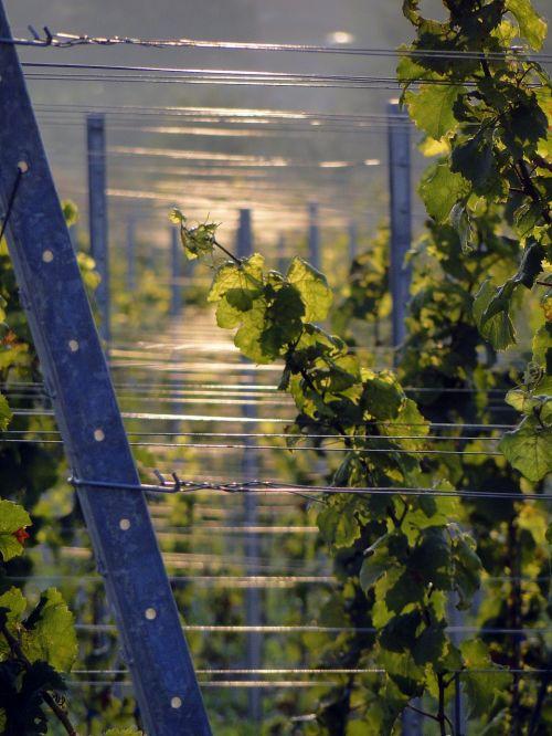 vines winegrowing vine
