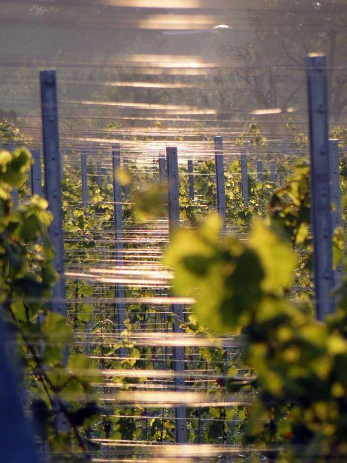 vines vineyard winegrowing