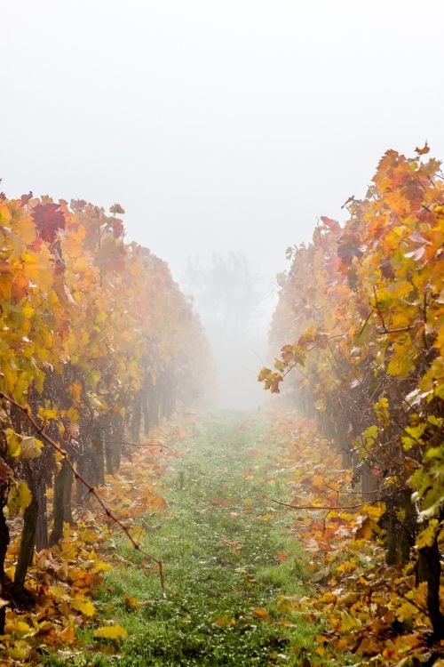 vineyard grapevine fog