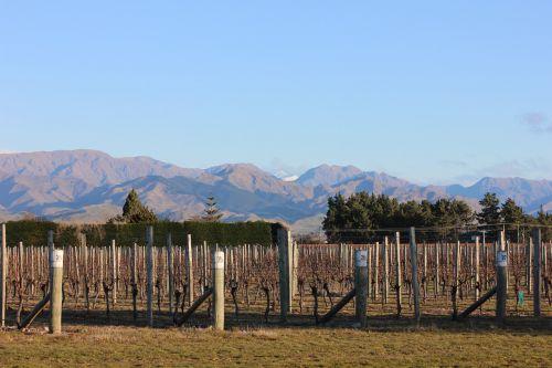 vineyard grapes grapevine