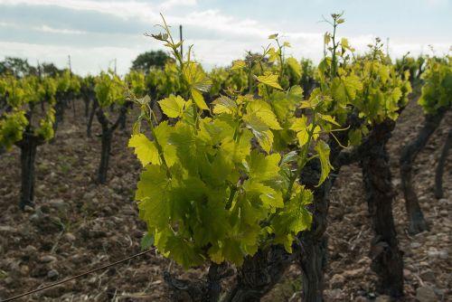 vineyard vine ceps