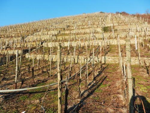 vineyard neckar sunny