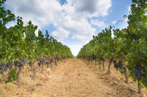 vineyard grapes landscape