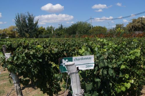 vineyard mendoza wine