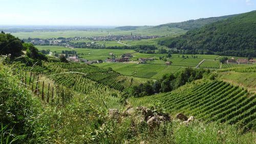 vineyard france alsace