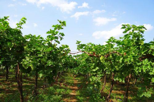 vineyard grape vine grape