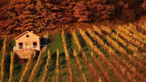vineyard vineyard cottage forest