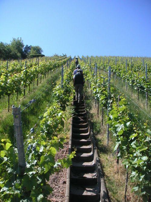 vineyard gradually rise