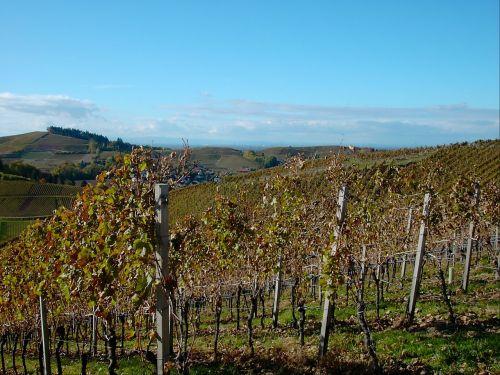 vineyard bright autumn