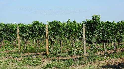 vineyard grapevine viticulture