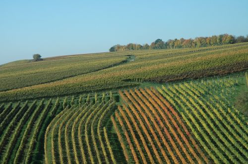 vineyard autumn winegrowing