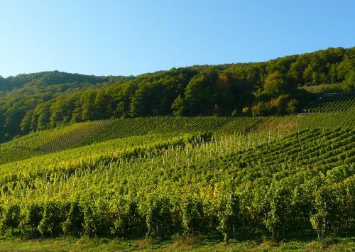 vineyard vines grapes