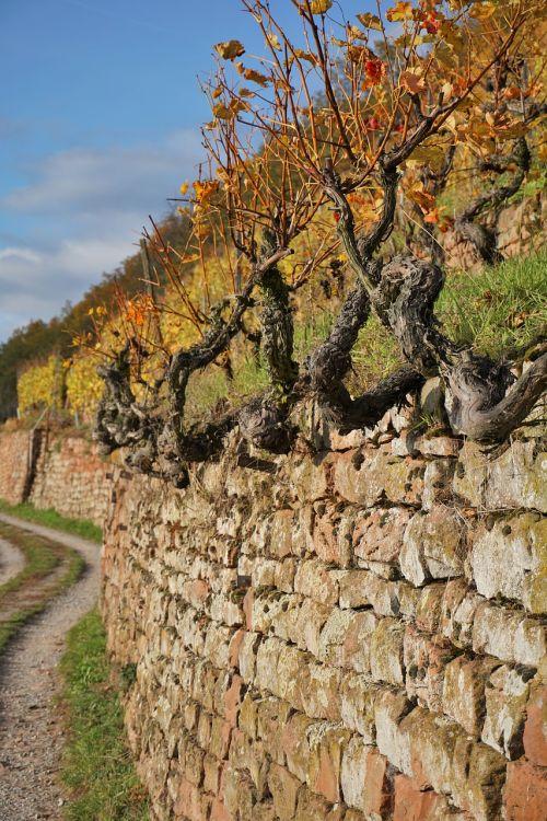 vineyard wine winegrowing