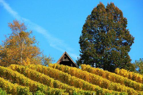 vineyard autumn wine