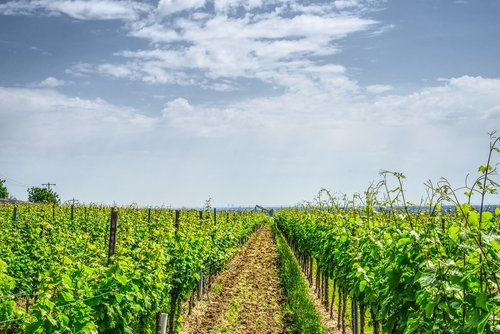 vineyard  grapevine  vine
