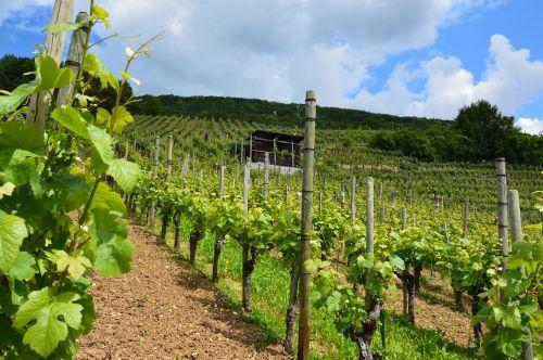 vineyard vines wine