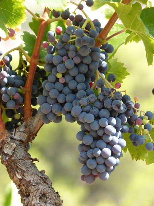 vineyard  vine  strain