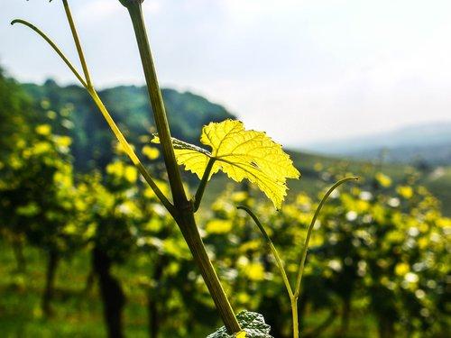 vineyard  leaf  evening sun