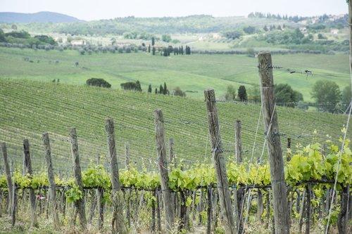 vineyard  wine  grapes