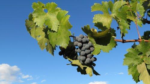 vineyard  napa  valley