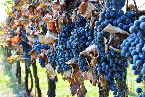 vineyard  the grapes  wine