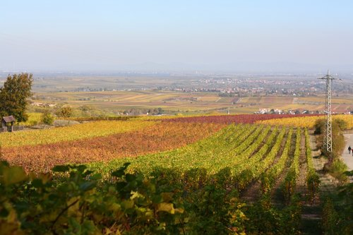 vineyard  autumn  rhine valley
