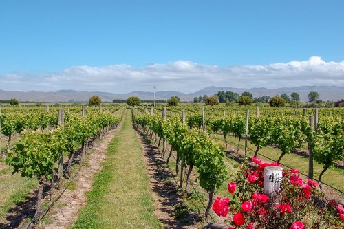 vineyard  australia  rose