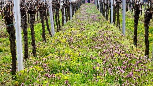 vineyard  wingert  vines